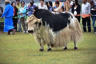 mong yak 2.jpg