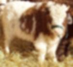 herdsire pic.jpg
