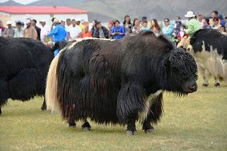 mong yak 1.jpg