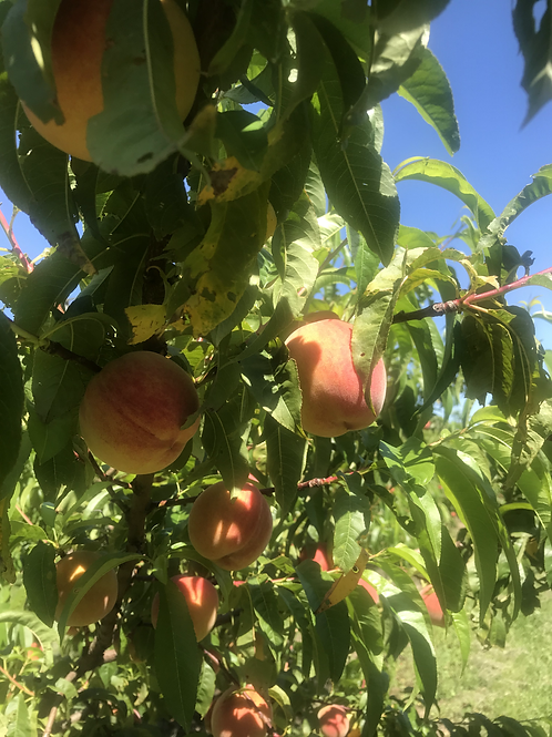 Redhaven Peaches