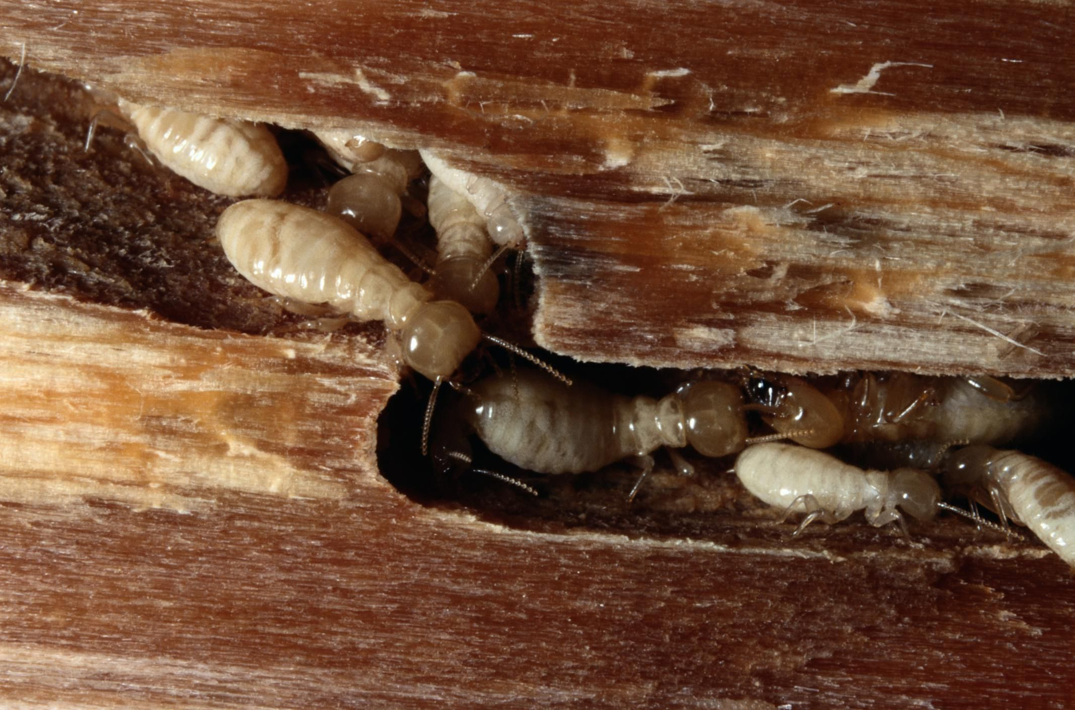 Active Termite Infestation