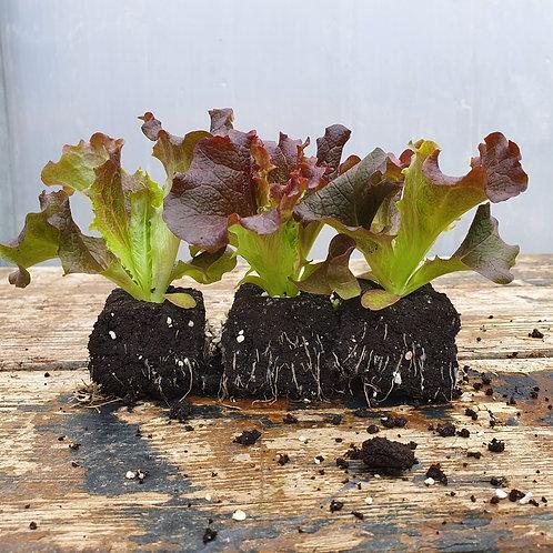 Krauthäuptel-Salat - Rot