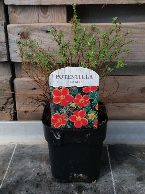 Potentilla - Red Ace