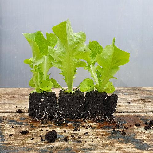 Eichenlaub-Salat - grün