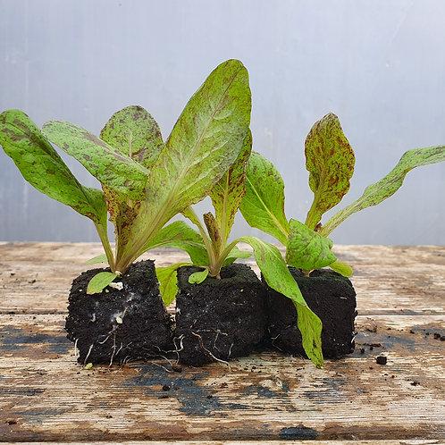Forellenschluss-Salat