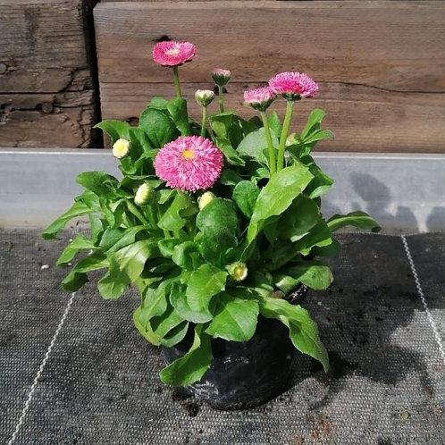 Bellis / Ruckerl rosa