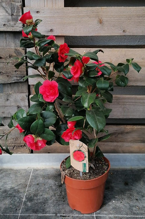 Camellia lady cambell