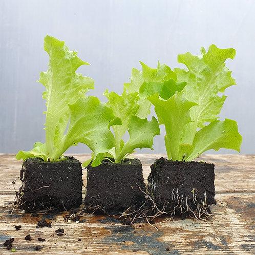 Lollo-Salat - Grün