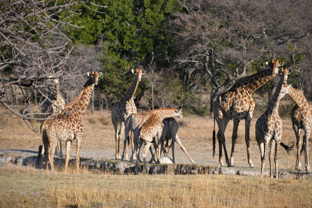 Giraffes facing zangarna lodge