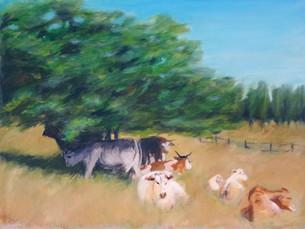 Kühe auf Rügen
