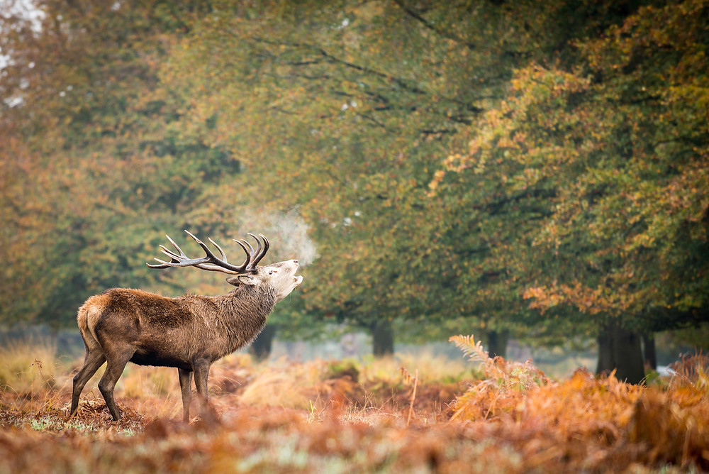 Richmond Park is home to over 600 of these stunning deer.