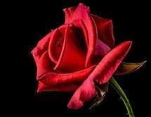 Rosa vermelha usada em buquês, arranjos e coroas de flores. Floricultura em Porto Alegre