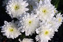 Crisântemos branco para coroa de flores fúnebre