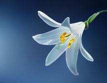 Lírio branco usado para confeccionar coroas de flores