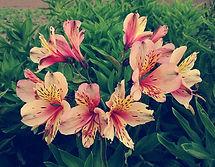 Astromélias, usada em arranjos e coroas de flores