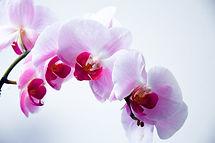 Orquídea rosa para arranjo de flores