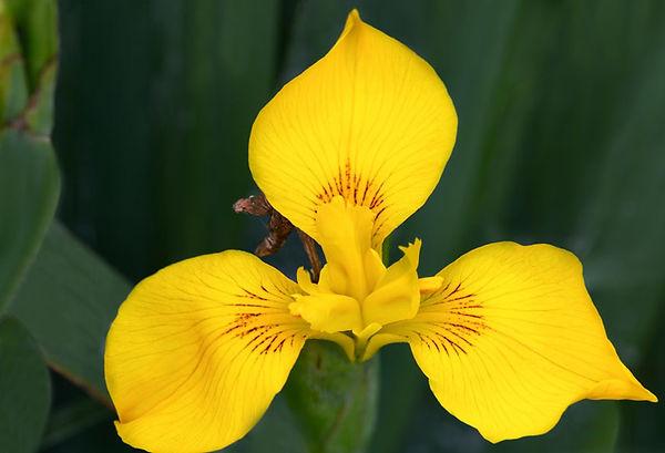 Yellow Flag Iris.jpg
