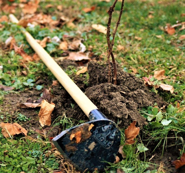 Hilling Up Grape Vines to Protect From Winter Injury