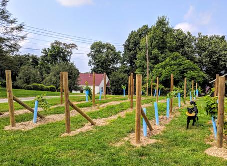 Starting a Backyard Vineyard