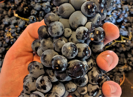 When to Pick Grapes for Wine
