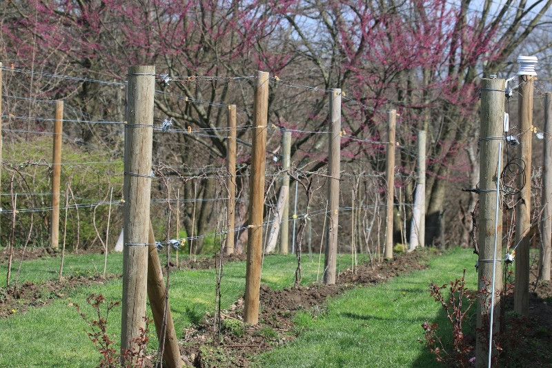 Three year old vineyard