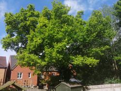 Oak reduction before