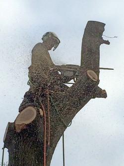 Oak tree dismantle 3