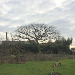 Oak tree pruning AFTER
