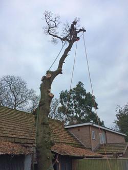Oak tree dismantle 1