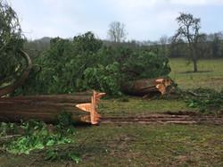 Western Red Cedar fell 2