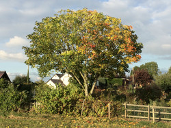 Maple after pruning