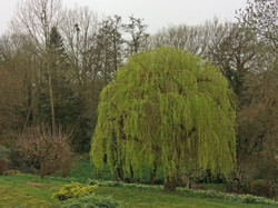 Willow Reduction