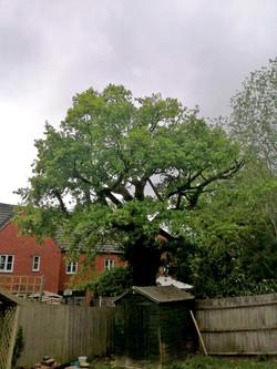 Oak reduction after