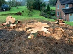 Western Red Cedar fell 1