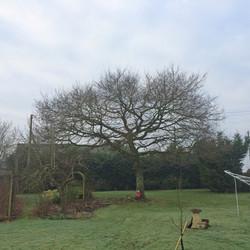 Oak tree pruning BEFORE