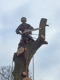 Oak tree dismantle2