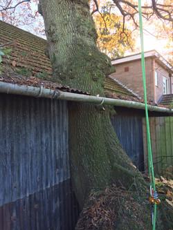 Oak tree dismantle 5
