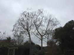 Birch tree reduction before