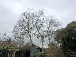 Birch tree reduction AFTER