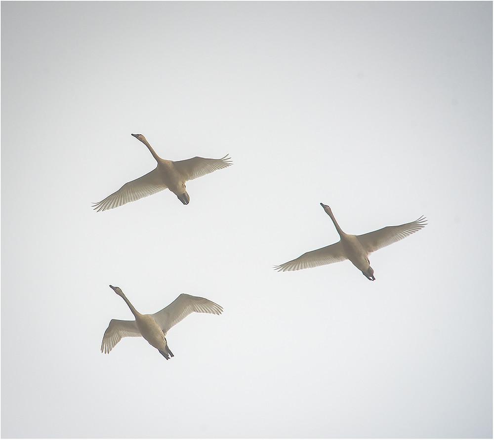 Tundra Swans in flight, Dan 2020