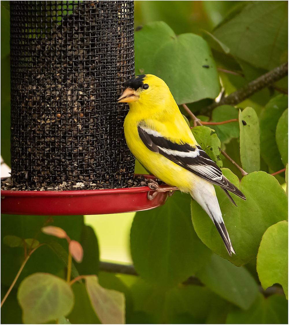 Goldfinch by Dan 2020