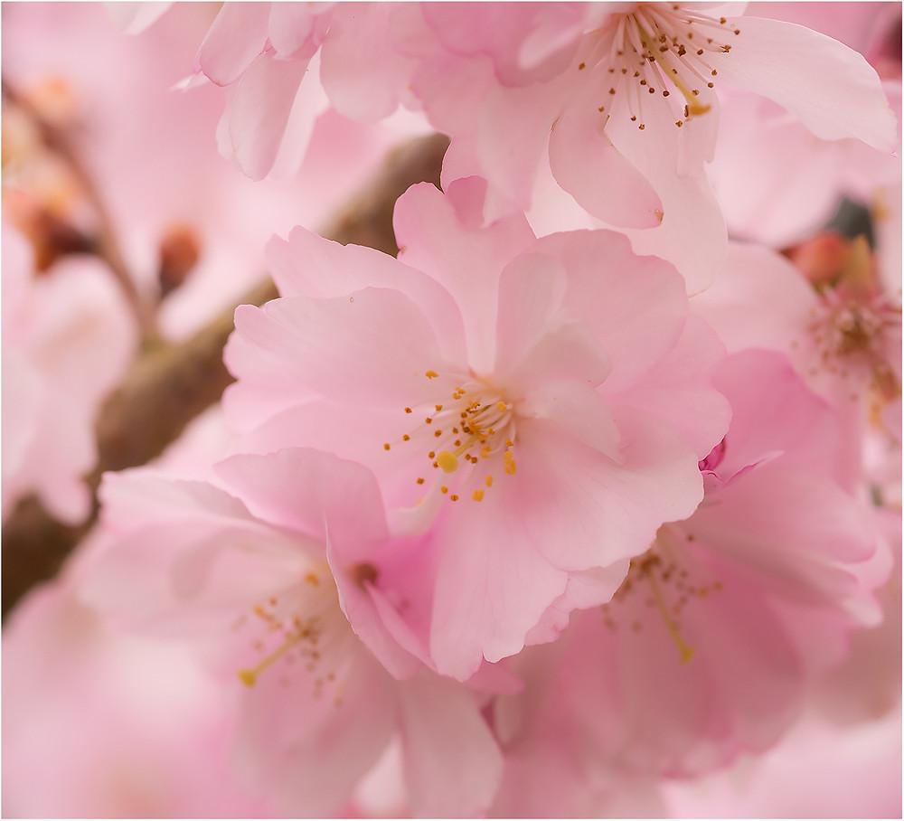 Sakura by Dan 2021