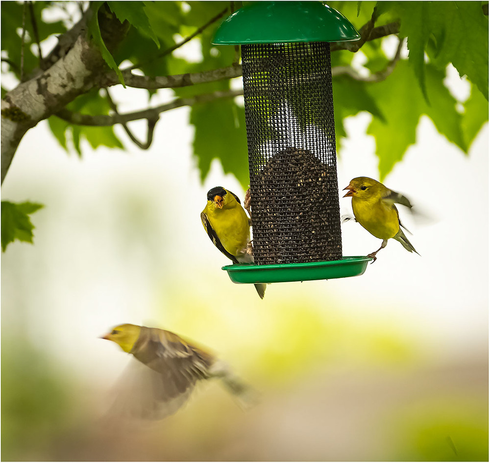 goldfinches feeding and fighting