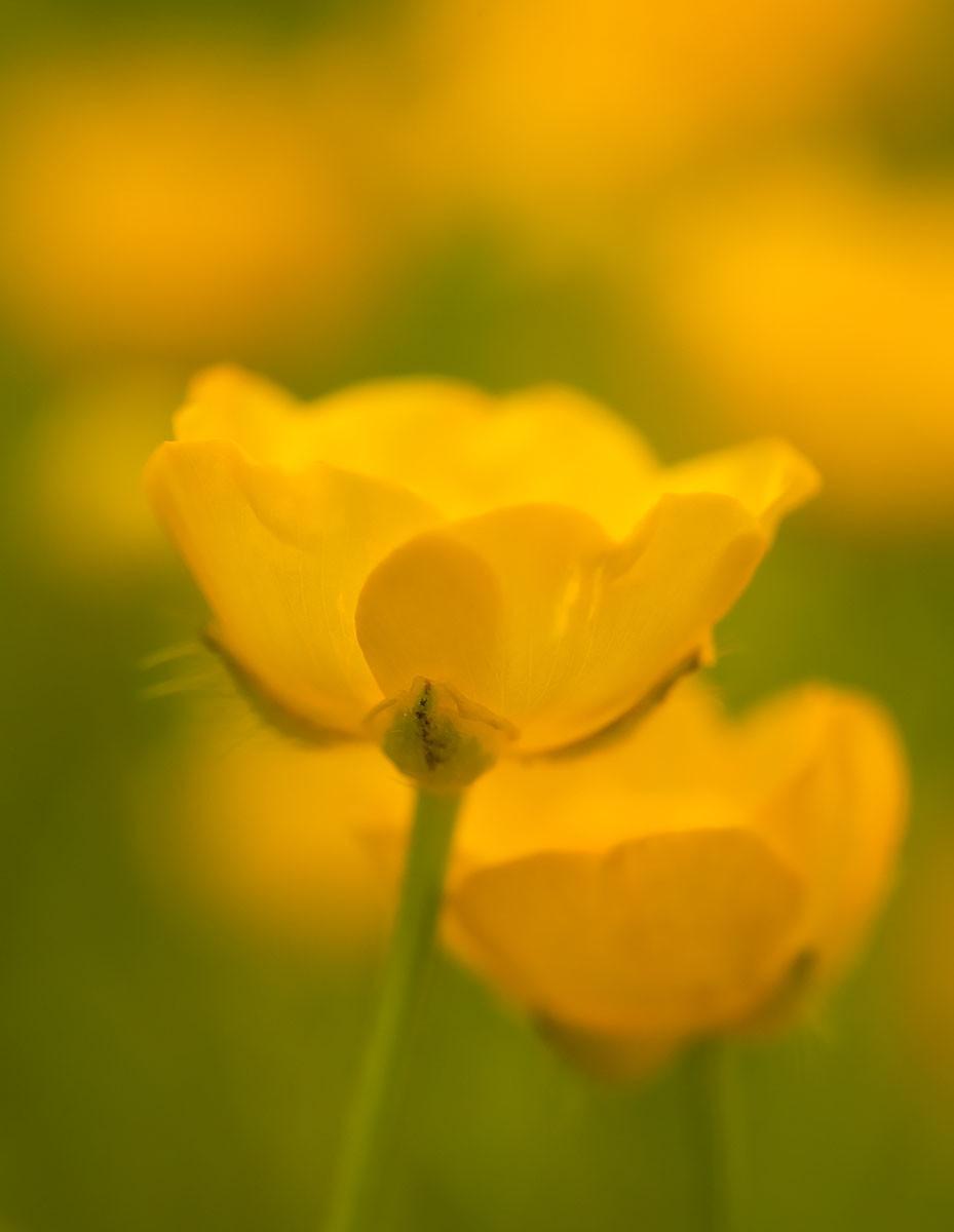 Buttercups by Dan 2020