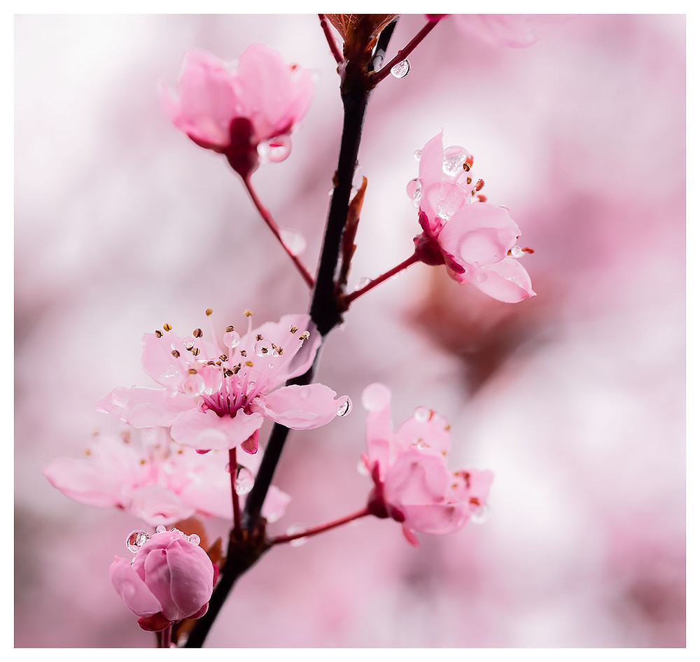 Blossoms with droplets by Dan 2020