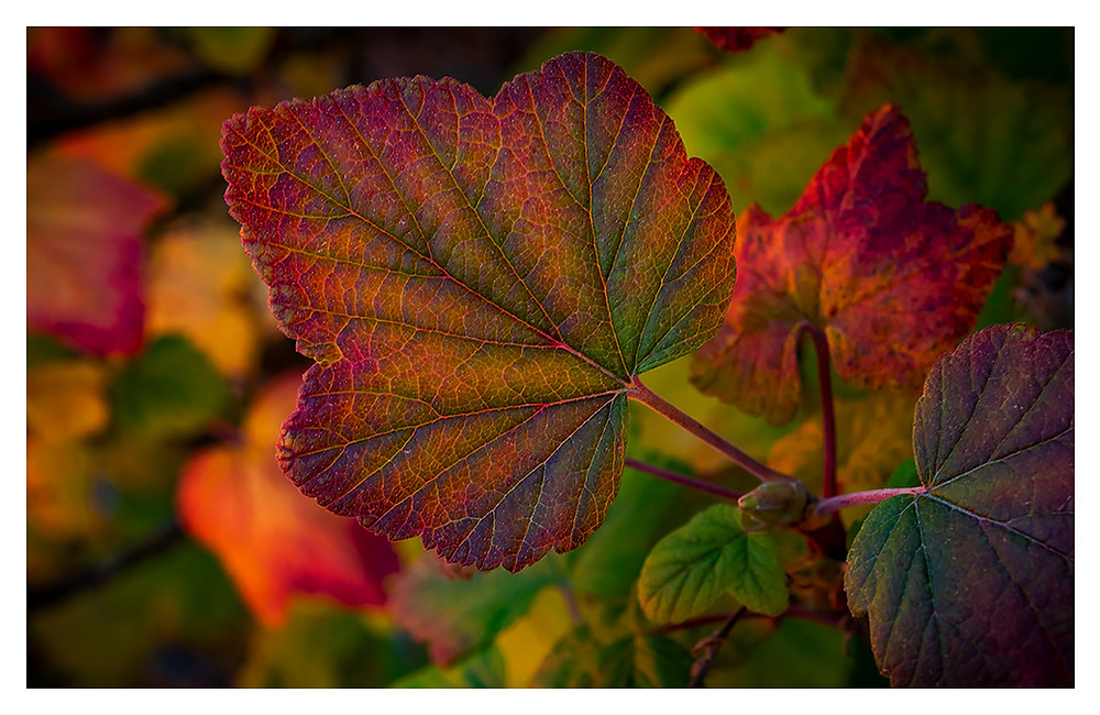 Autumnal leaves, Copyright Dan