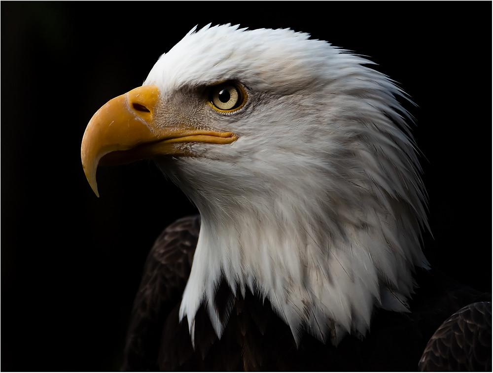 Eagle profile by Dan 2021