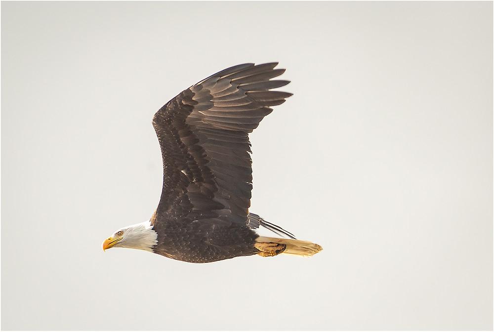 Soaring Eagle by Dan 2021