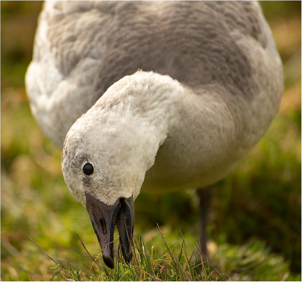 the goose bites back! by Dan 2021
