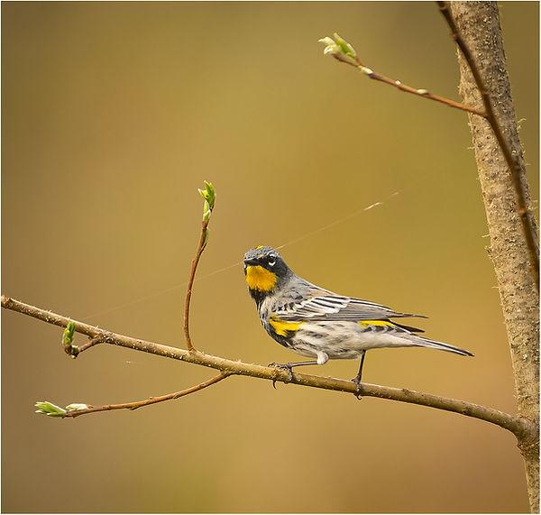 yellow rupmped warbler_master.jpg